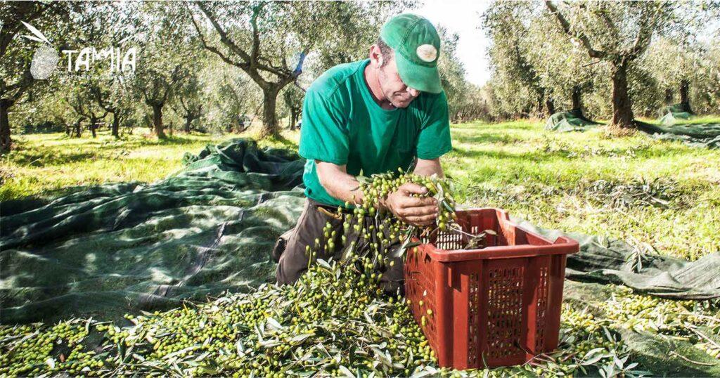 Raccolta olive per olio di alta qualità